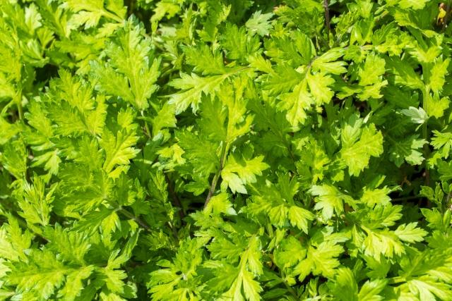ヨモギは野草の中でも栄養素がとても豊富で「和製のハーブ」「ハーブの女王」